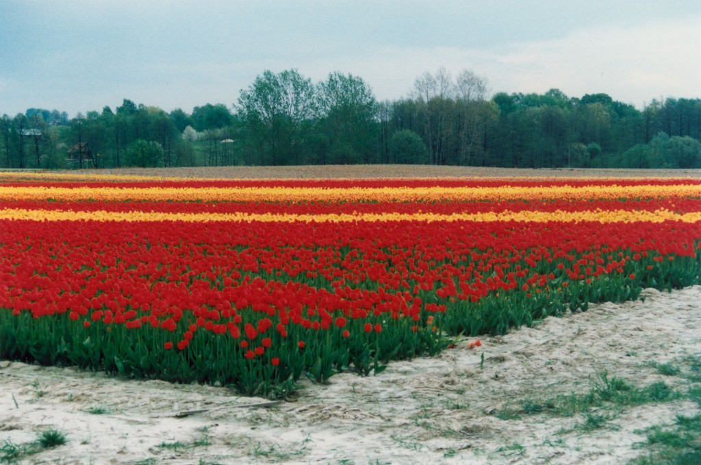 Campo de tulipanes en Polonia