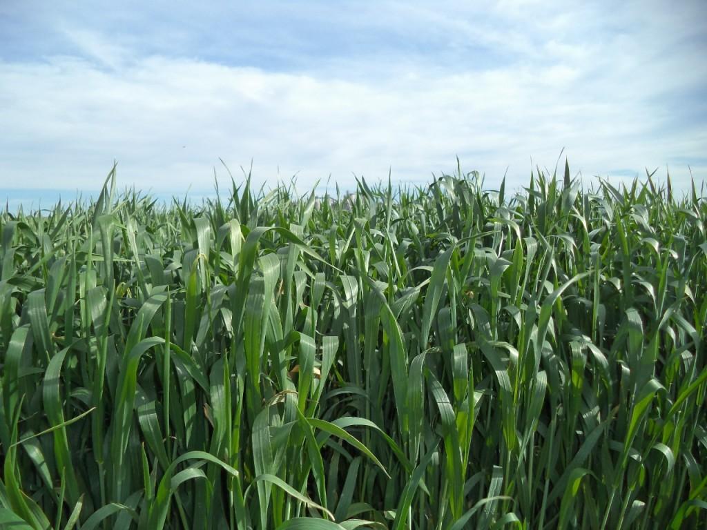 Campo de cereal en Villaluenga de la Sagra (Toledo)